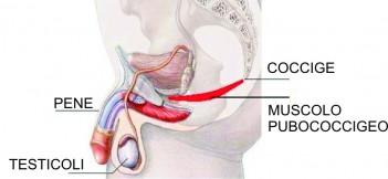 Connessione pubococcigea