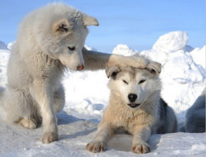 [Immagine: cuccioli-di-lupo-bianco-54a56a6a8cafa_566ab5b39609a.jpg]